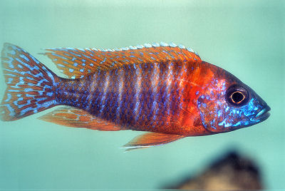 RubinRedPeacock further BlueGobyCichlid moreover AulonocaraFortMaguire further Diet as well 211699. on oscar cichlid diseases