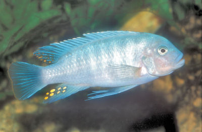 Picture of a Pseudotropheus Ice Blue Cichlid