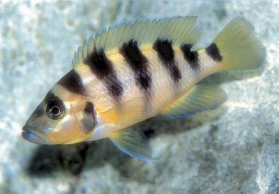 Sexfasciatus, Neolamprologus sexfasciatus, Gold Sexfasciatus Cichlid, Six-Bar Lamprologus