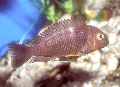 "Blue-Eyed Tropheus, pictured here is the Skunkback Tropeus, Tropheus brichardi ""Nyanza"""