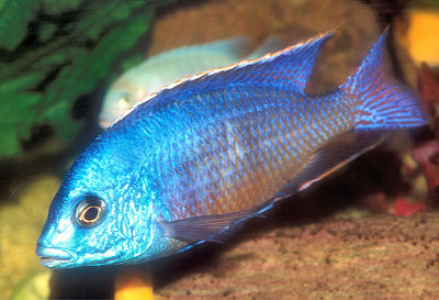 Red Empress, an African Cichlid