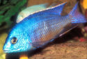 African Cichlids Fact Sheet