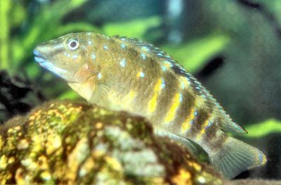 Spotfin Goby Cichlid, Tanganicodus irsacae