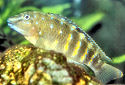 Click for more info on Spotfin Goby Cichlid