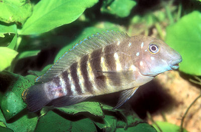 Tanganyika Goby Cichlid, also called Tanganyika Clown or Striped Goby Cichlid