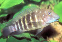 Click for more info on Tanganyikan Goby Cichlid