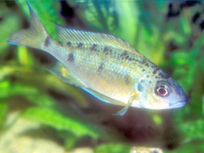Gold Nasuta, Ophthalmotilapia nasuta, Tiger Nasuta, Long-Nosed Gold-Tip Cichlid