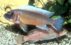 Spawning pair of Trewavas Cichlids