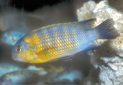 Tropheops Sp. Red Cheek, Tropheops tropheops, Golden Tropheops, Pseudotropheus Big eye