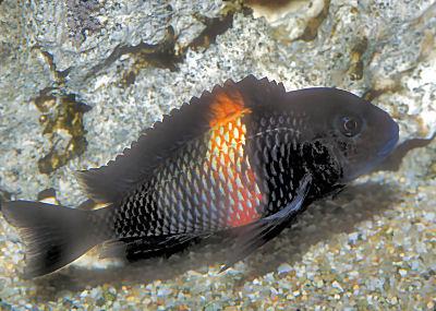 "Red Saddle Tropheus cichlid, Tropheus sp. Black ""Rutunga"""