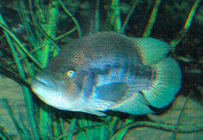 Wolf Cichlid, Parachromis dovii, Dovii Cichlid, Guapote, Dow's Cichlid