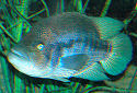 Click for more info on Wolf Cichlid
