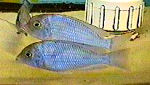Picture of a Blue Moorii, Malawi Blue Dolphin, or Hump-head