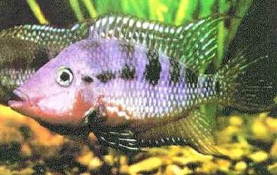 Firemouth Cichlid, Thorichthys meeki (Cichlasoma meeki)