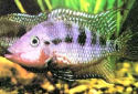 The Firemouth Cichlid