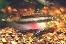 Kribensis, also called the Purple Cichlid, Rainbow Krib, or Pink Kribensis Cichlid