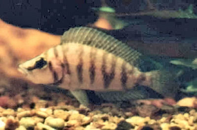Compressed Cichlid, Altolamprologus compressiceps, Lamp Compressiceps, Comps cichlid