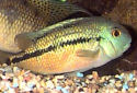 Click for more info on Nicaragua Cichlid
