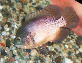 Speckled Red Oscar, Astronotus ocellatus