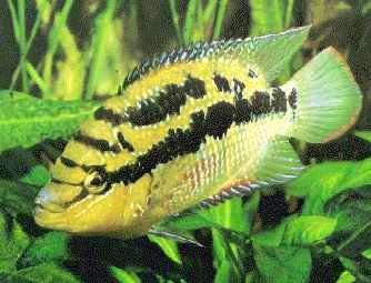 Salvini Cichlid, Cichlasoma salvini, Salvin's Cichlid, Yellow Belly Cichlid, Tricolor Cichlid