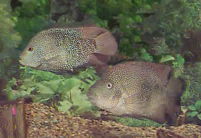 Fish world texas chiclid freshwater fish for Texas freshwater fish