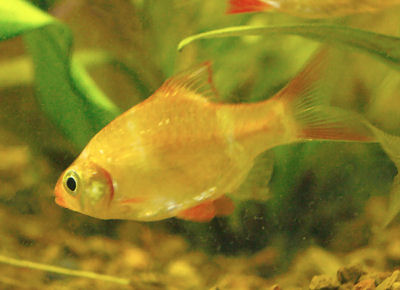 Albino tiger barb puntius tetrazona variety fish guide for Tiger barb fish