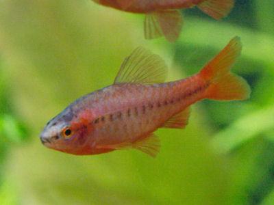 Cherry Barb Trigonostigma heteromorpha, Fish Guides for Cyprinidae Fish