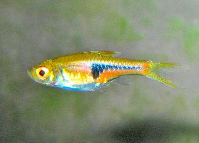 Espe's Rasbora, Trigonostigma espei, Lambchop Rabora