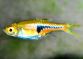 Click for more info on Espe's Rasbora
