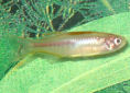 Animal-World info on Glowlight Danio