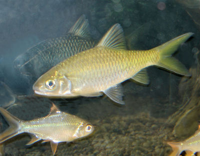 Golden Tinfoil Barb, Yellow Tinfoil Barb, Barbonymus schwanenfeldii variety