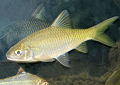 Animal-World info on Golden Tinfoil Barb