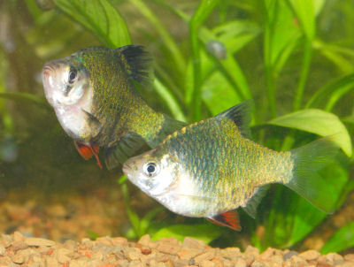 Green Tiger Barb, Puntius tetrazona variety, Moss-banded Barb, Moss Barb