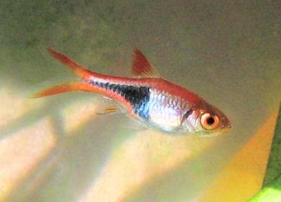 Harlequin Rasbora, Trigonostigma heteromorph, Red Rasbora