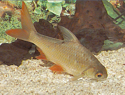 Red-tail Tinfoil Barb, Barbonymus altus, Red Tailed Tinfoil Barb