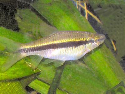 Slender Rasbora, Rasbora daniconius, Striped Rasbora, Black Line Rasbora, Gold Line Rasbora