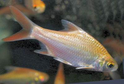 Tinfoil Barb (albino) Barbonymus schwanefeldi, Goldfoil Barb, Schwanefeld's Barb