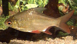 Red-tail Tinfoil Barb, Barbonymus altus