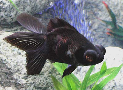 Black Moor Goldfish, Black Demekin Information, Care and Pictures