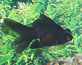 Black Moor Goldfish, Black Demekin Information, Care and Pictures