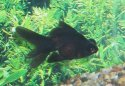 Animal-World info on Black Moor Goldfish