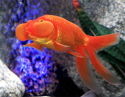 Bubble Eye Goldfish, Water-Bubble Eye Goldfish, Carassius auratus