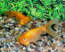 Bubble Eye Goldfish in a group