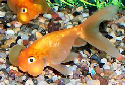 Animal-World info on Bubble Eye Goldfish