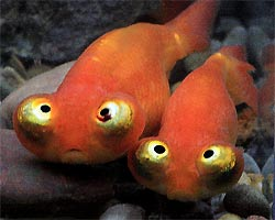 Celestial eye goldfish stargazer goldfish information for Fish eye skin