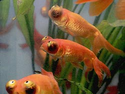 Celestial Eye Goldfish are also called Stargazers