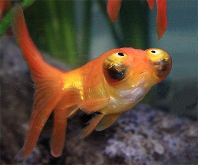 Celestial Eye Goldfish,  Stargazer Goldfish, Deme-Ranchu