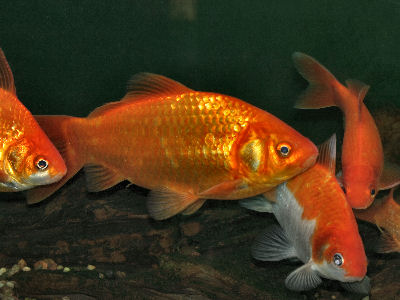 goldfish. Common Goldfish