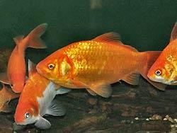 Pesce rosso, Carassius gibelio