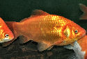 Animal-World info on Common Goldfish